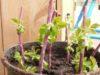 Размножение малины черенками