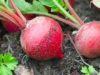 Как выращивать редис в открытом грунте