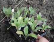 Уход и выращивание брюссельской капусты
