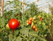 podvyazka-pomidorov