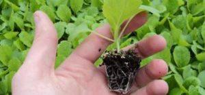 Благоприятные дни для посадки капусты