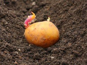 Благоприятные дни для посадки картофеля