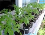 Благоприятные дни для посадки помидор