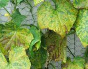 На листьях огурцов появилась ржавчина