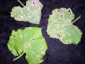 Почему листья огурцов в дырках