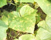 Почему на огурцах мелкие листья