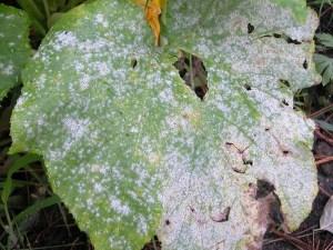почему белееют листья огурцов