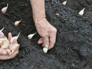 Благоприятные дни для посадки чеснока в 2017 году