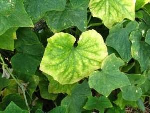 Почему у огурцов бледные листья