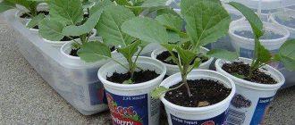 Посев капусты на рассаду в Сибири