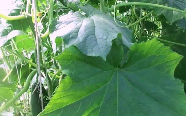большие листь на огурцах1
