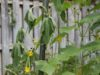Почему стебли у огурцов тонкие: причины, что делать