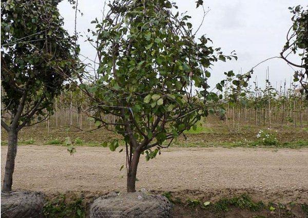 Саженцы яблони 2018