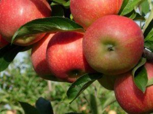 Благоприятные дни для посадки яблонь в 2018 году