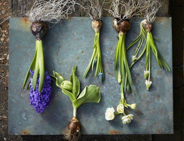подготовка луковиц гиацинта 2018