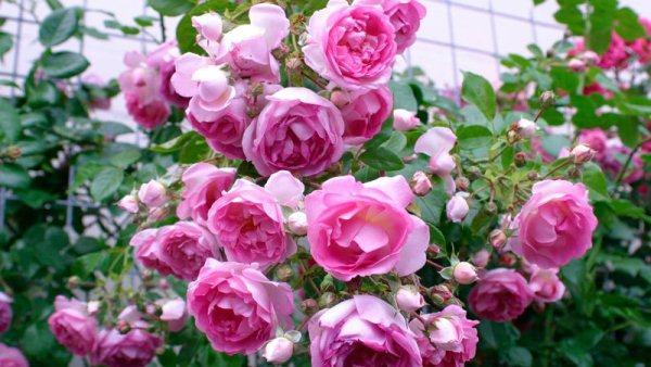 розы по лунному календарю 2018