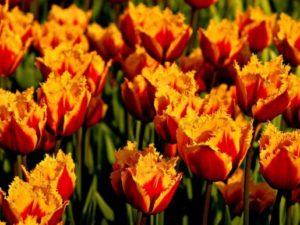 Благоприятные дни для посадки тюльпанов в 2018 году