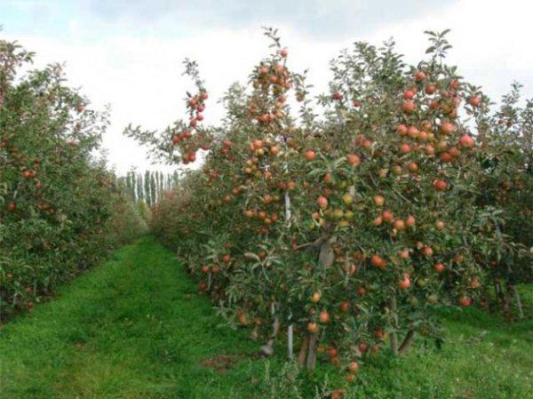 уход за яблоней 2018
