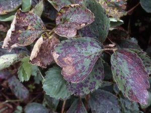 Основные болезни листьев клубники