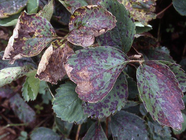 Болезни листьев клубники