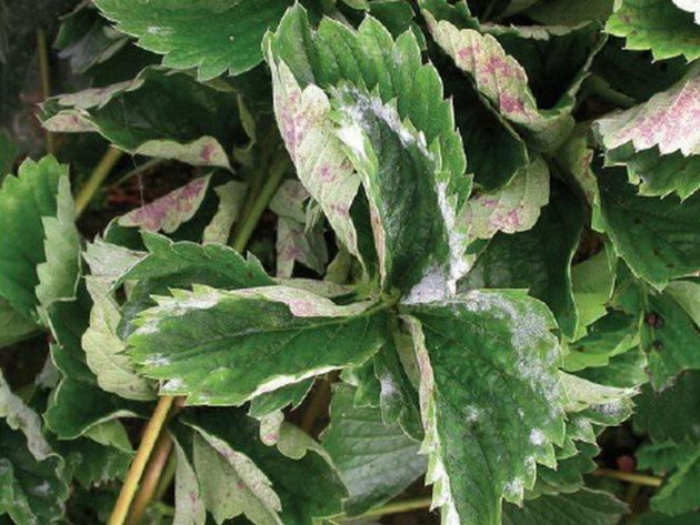 Болезни листьев у клубники