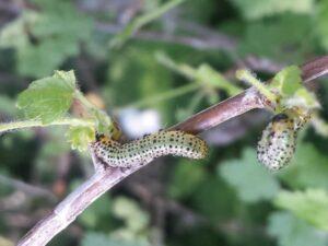 Гусеницы на крыжовнике объедают листья, как бороться