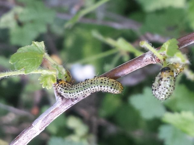 Гусеницы на крыжовнике объедают листья