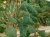 Почему скручиваются листья у огурцов
