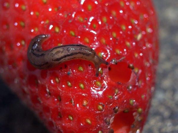 Слизень на ягоде клубники