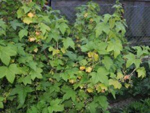 Почему желтеют листья у черной смородины
