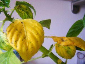 Почему у бальзамина желтеют листья