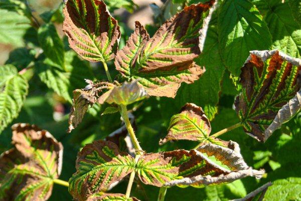 чернеют-листья-на-малине