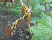 чернеют-листья-на-малине.