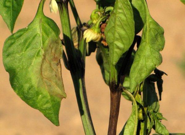чернеют-листья-перцев