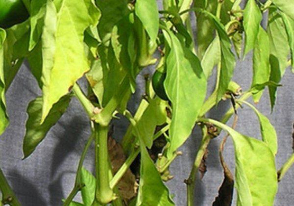 Бледные-листья-у-перцев