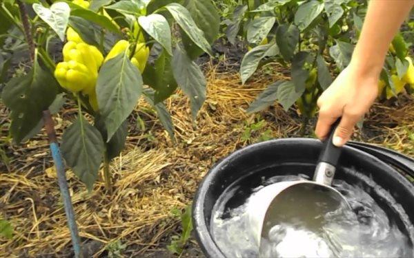 Чеп подкормить перцы