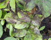 Чернеют листья картофеля