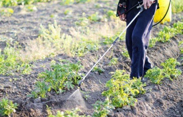 Чернеют листья картофеля чем обработать