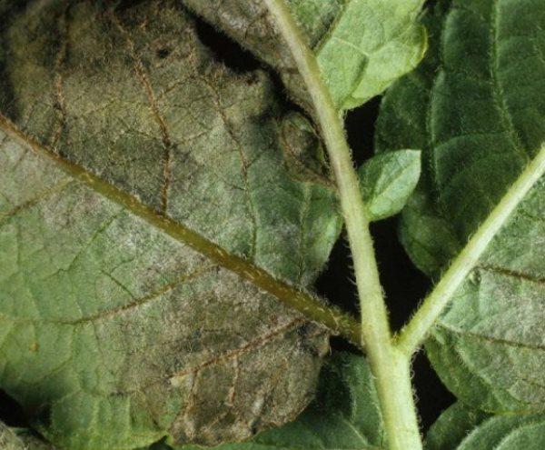 Чернеют листья картофеля2