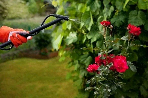 Гусеницы на розах чем обработать