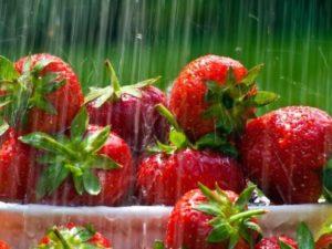 Как правильно поливать клубнику во время плодоношения