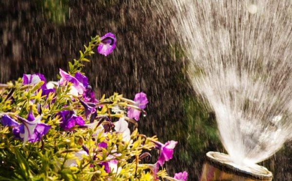 Как поливать петунию