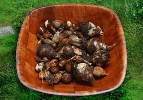 Когда выкапывать луковицы тюльпанов1