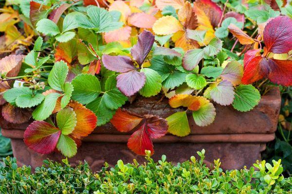 Краснеют листья клубники1