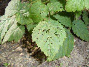 Почему листья малины в мелкую дырочку, чем брызгать