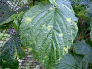 На листьях малины появились пятна (желтые, белые)