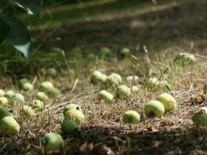 На яблоне опадает завязь, что делать