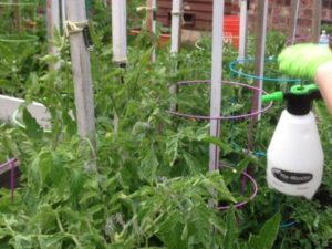 Обработка помидоров борной кислотой для завязи