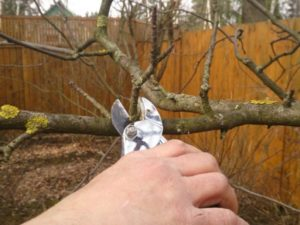 Как обрезать яблоню осенью: для начинающих