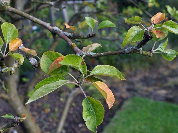 Почему-краснеют-листья-у-яблони